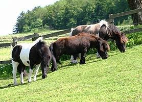 Ponies auf der Weide