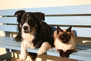 Border Collie und Siamkatze auf einer Bank
